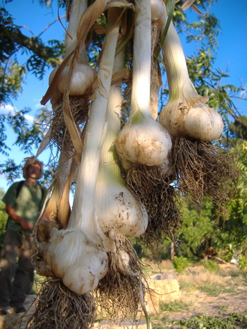 garlic organic and local